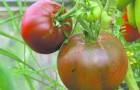 Сорт томата: Экзотика
