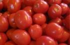Сорт томата: Элегант