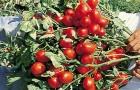 Сорт томата: Элегия