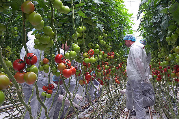 Сорт томата: Эмперадор   f1