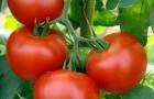 Сорт томата: Энигма f1
