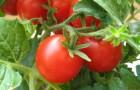 Сорт томата: Эрато f1