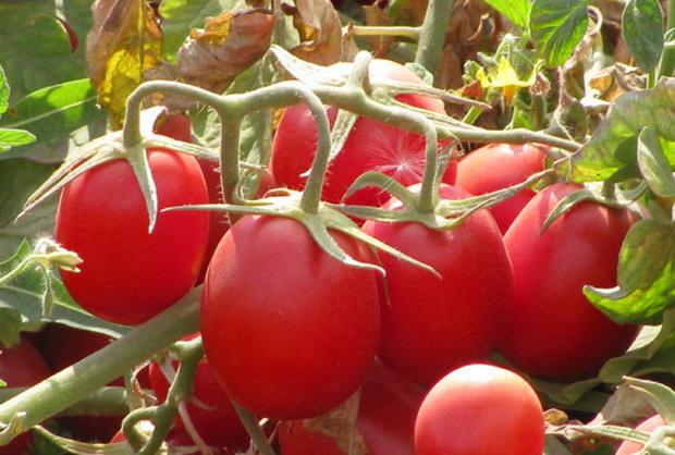 Сорт томата: Эрмитаж