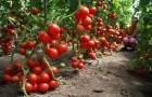Сорт томата: Эволюшн f1