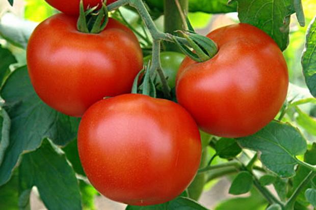 Сорт томата: Эйджен   f1