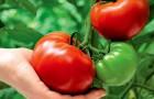 Сорт томата: Фанагория f1