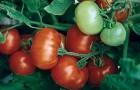 Сорт томата: Фантастина f1