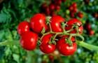 Сорт томата: Фарук f1