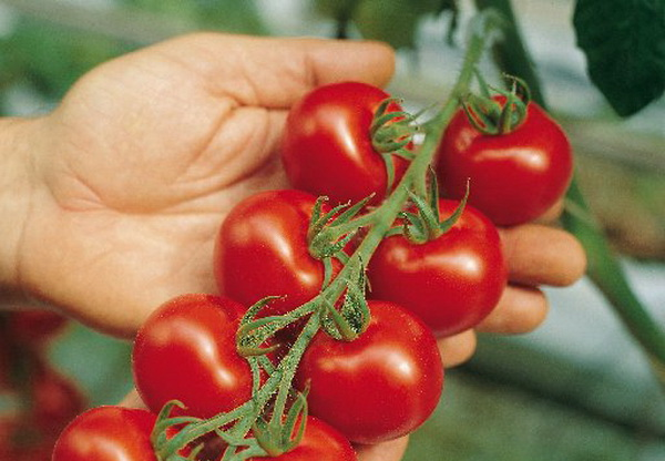 Сорт томата: Фаворит 6   f1