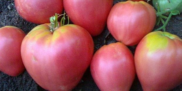 Сорт томата: Феличита   f1