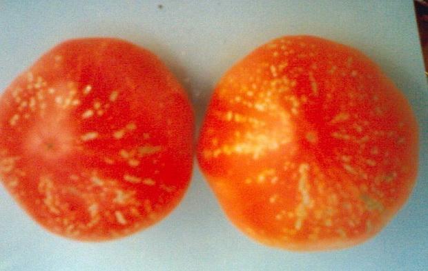 Сорт томата: Фейерверк