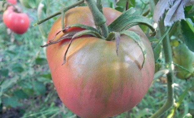 Сорт томата: Фиделио