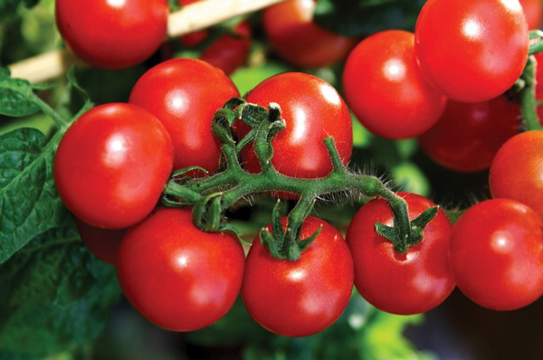 Сорт томата: Филипп   f1