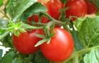 Сорт томата: Финиш