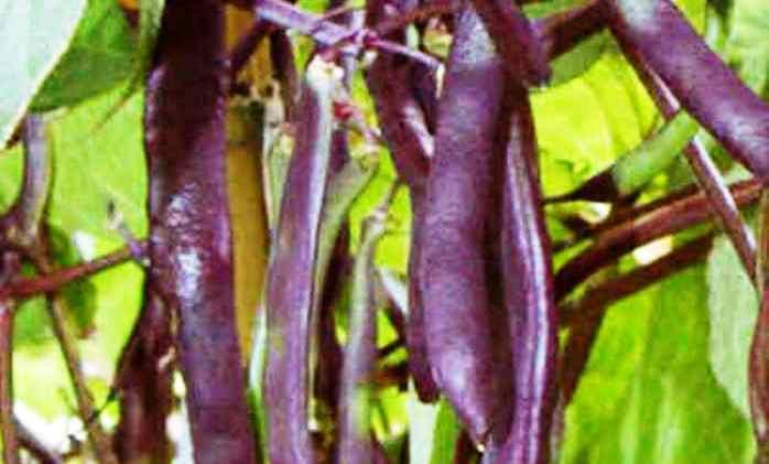 Фиолетовые бобы