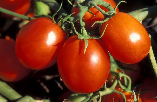 Сорт томата: Фонтана   f1