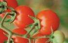 Сорт томата: Фортуна f1