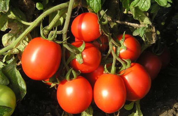 Сорт томата: Фриско   f1