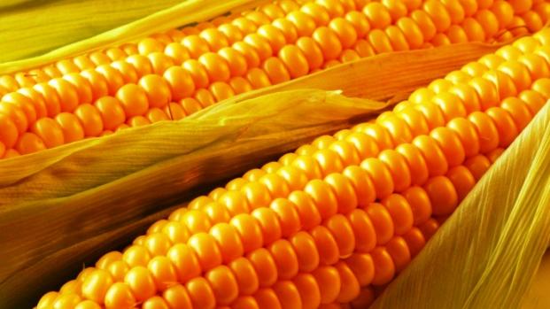 ГМО кукуруза: химический яд вместо питательных веществ