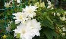 Группа клематисов Гераклеифолия (мелкоцветковые сорта и формы)