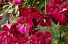 Группа клематисов Витицелла (крупноцветковые сорта и формы)