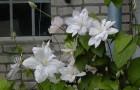 Группа клематисов Жакмана-Патенс (крупноцветковые сорта и формы)
