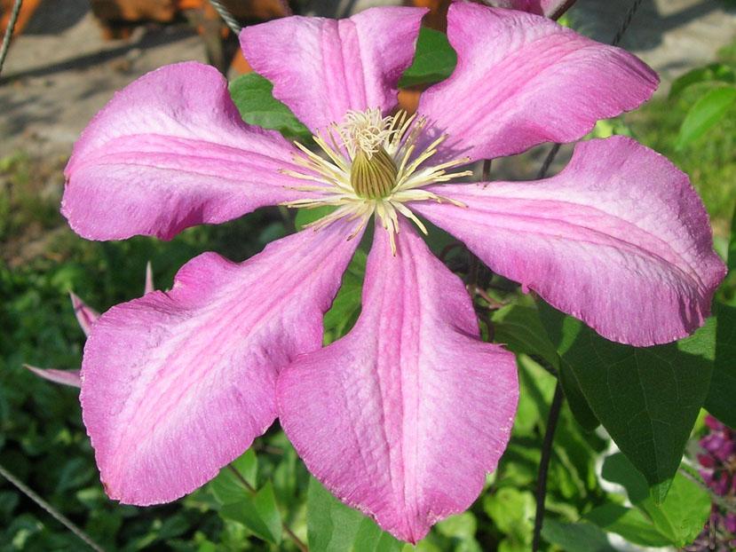 Группа клематисов Жакмана (крупноцветковые сорта и формы)