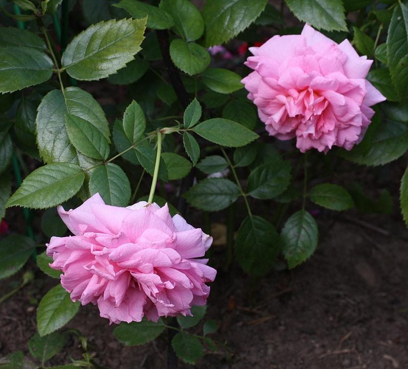 Группа роз Ламберта (зарубежной селекции)