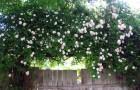 Группа роз Мультифлора (отечественной селекции)