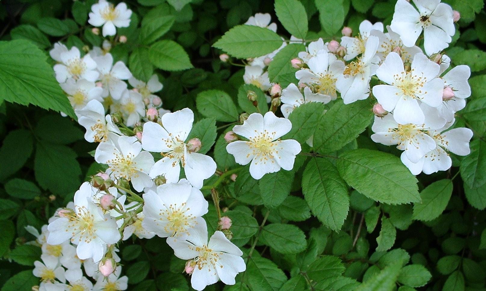 Группа роз Мультифлора (зарубежной селекции)