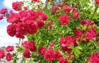 Группа роз Вихуриана (зарубежной селекции)