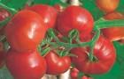 Сорт томата: Хан f1