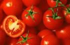 Сорт томата: Хайнз 1100 f1