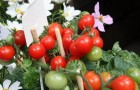 Сорт томата: Хайнз 2710 f1