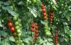 Сорт томата: Хилма f1