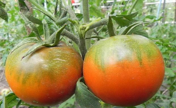 Сорт томата: Хлебосольный