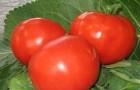 Сорт томата: Хрустик f1