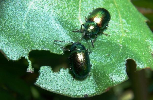 Как запутать насекомых вредителей