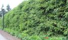 Комбинированные типы живых изгородей