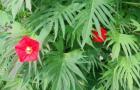 Квамоклит Слотера, кардинальская лиана