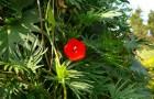 Квамоклит огненно-красный, «звезда-красавица»