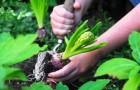 Луковичные растения (Видео)