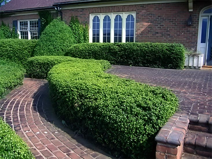 Общие правила техники выполнения срезов при обрезке живых изгородей