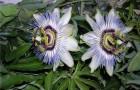 Пассифлора, страстоцвет грациевидная