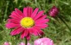 Пиретрум розовый