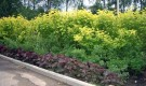 Посадка растений для живой изгороди