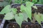 Посев семян лиан