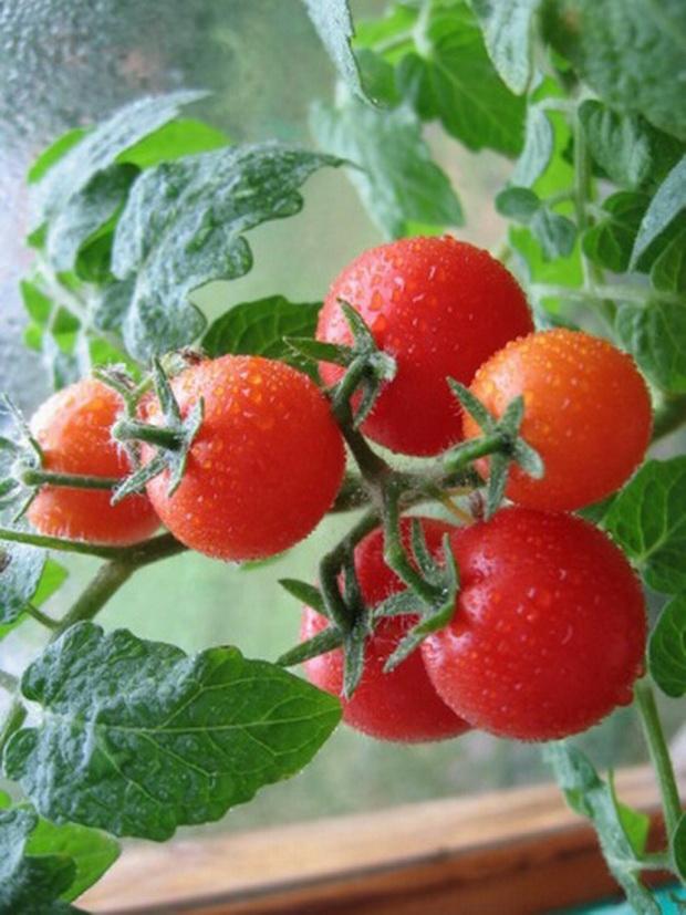 Сорт томата: Радогост   f1