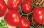 Сорт томата: Раиса f1