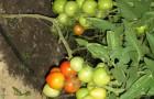 Сорт томата: Рамзес f1